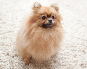 fluffy Pomeranian dog sitting on a beige carpet