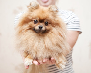 cute Pomeranian dog in the hands  looking at the camera