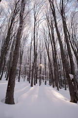 winter forest trees covered with snow sun showing through