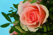 Pink rose on blue background, close up