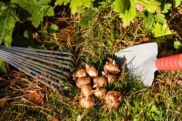 Blumenzwiebeln im Garten, flower bulbs in the garden
