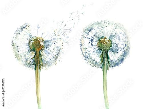 para-od-dandelions