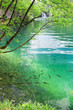Fish in pure transparent water of Plitvice lakes