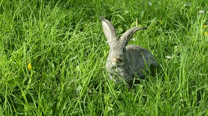 Little grey rabbit sitting on the garden grass