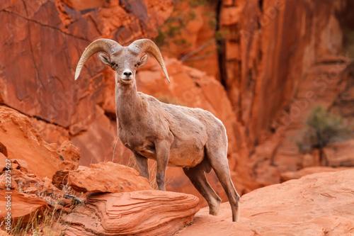 Fotobehang Schapen Desert Big Horn Sheep Ram