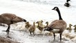 Canada Geese and Goslings on Sandy Beach on a Windy Day