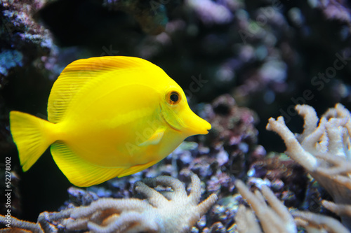Tropical yellow tang on a coral reef