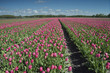 canvas print picture - tulip field