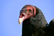 Portrait Turkey vulture (Cathartes aura) on blue sky background
