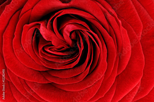 Fotobehang Macro Beautiful red rose flower. Closeup.
