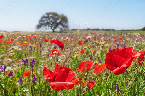 Spring field covered with poppies and colorful flowers.