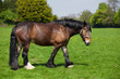 Fototapeten,pferd,braun,groß,spaziergang