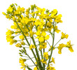rapeseed flowers close up isolated on white background