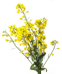 rapeseed plant  isolated on white