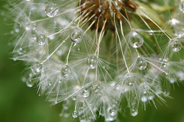 Dandelion after rain © Geraldas