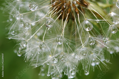 Dandelion after rain