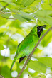 Greater Green Leafbird (Chloropsis sonnerati) in the nature