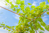 Angled gourd hanging on tree with blue sky background