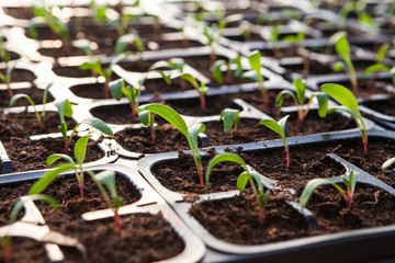 Lettuce sprouts field