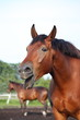 Yawning bay horse portrait in summer