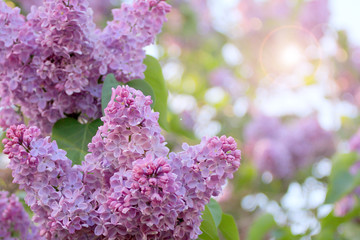 flowering tree lilac as symbol spring awakening nature