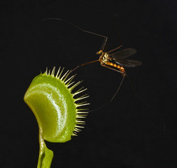 crane fly fighting venus fly trap