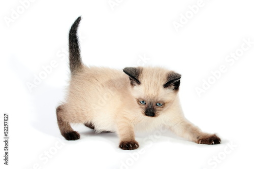 Playful siamese kitten