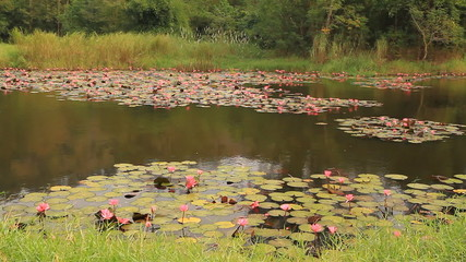 Pink lotus in pond near trees from Thailand