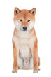 shiba inu dog sitting on white background