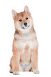 adorable sitting shiba inu puppy portrait