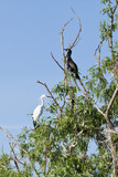 cormorants and egret standing in tree in Danube Delta