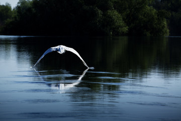 swan flying over the over with reflection in water