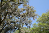 Spanish Moss Hanging from Live Oak