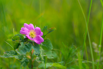 Wild rose flower on a background of green grass