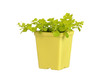 Gold creeping jenny in yellow pot