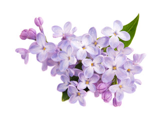 Lilac branch isolated on white background