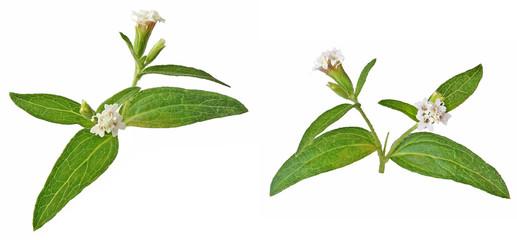 Flower Rebaudiana