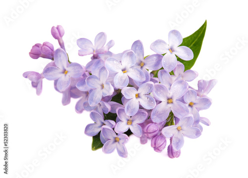 Spoed canvasdoek 2cm dik Lilac Lilac branch isolated on white background
