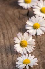 Aufgereihte Gänseblümchen auf Holzuntergrund