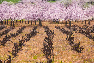 vineyard and cherry blossoms in spring. RGB