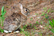 Wild eastern cottontail rabbit, Sylvilagus floridanus, in forest