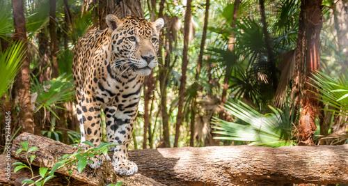 Fotobehang Centraal-Amerika Landen Walking Jaguar
