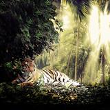 tiger - 52315035