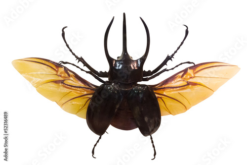 flying rhinoceros beetle isolated on white