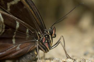 Macro papillon