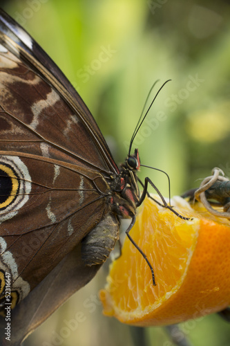Papillon sur une orange