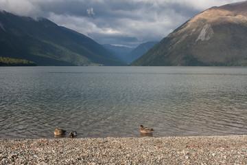 ducks swimming on lake Rotoiti