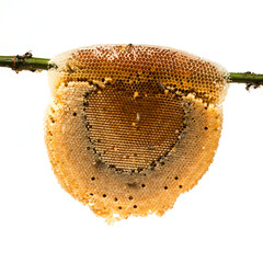 honeycomb with honey and bee on bamboo branch, isolated on white