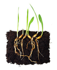 Green grass sprouts with roots.