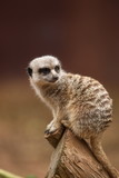A curious meerkat observing its surrounding.